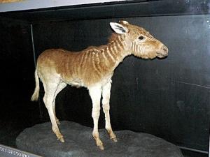 Quagga-foal